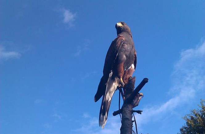 Herne Falconry