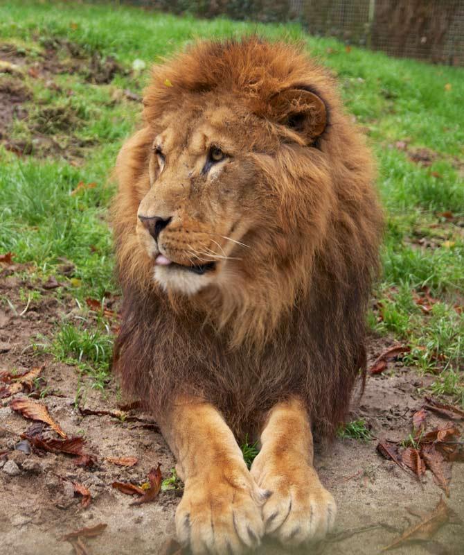 Samson-the-African-Lion
