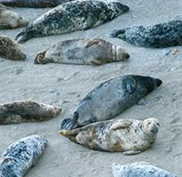 Seal spotting at Godrevy