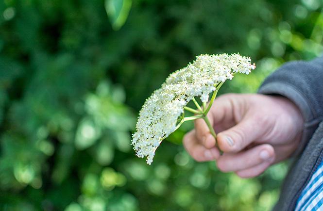 elderflower foray