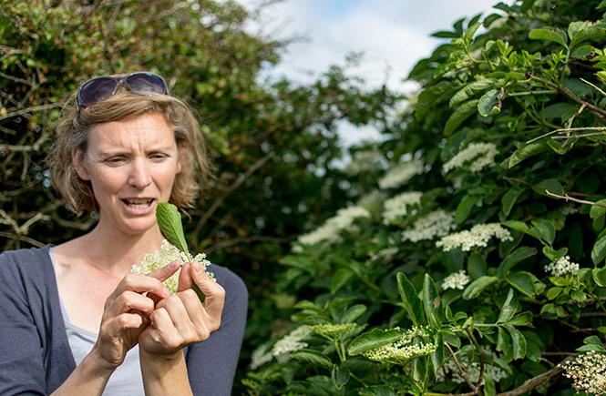 foraging elderflower