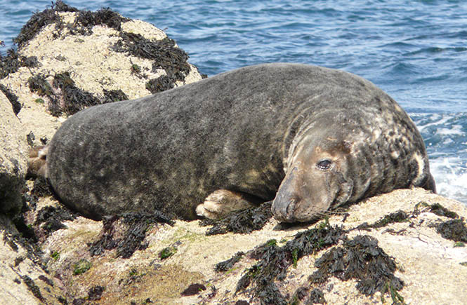 Images provided by Cornwall Seal Group Research Trust