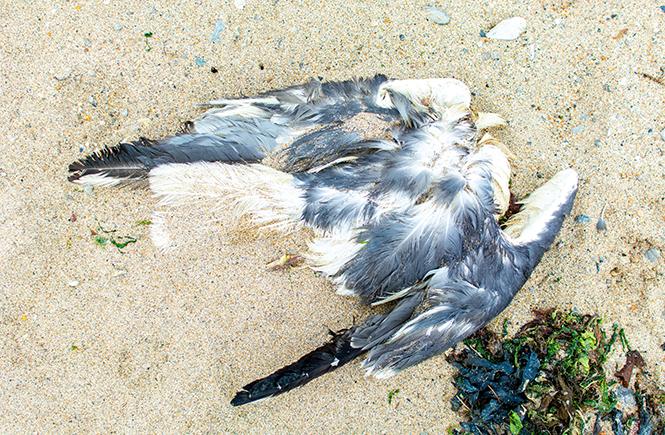 A dead seabird discovered on Praa Sands beach