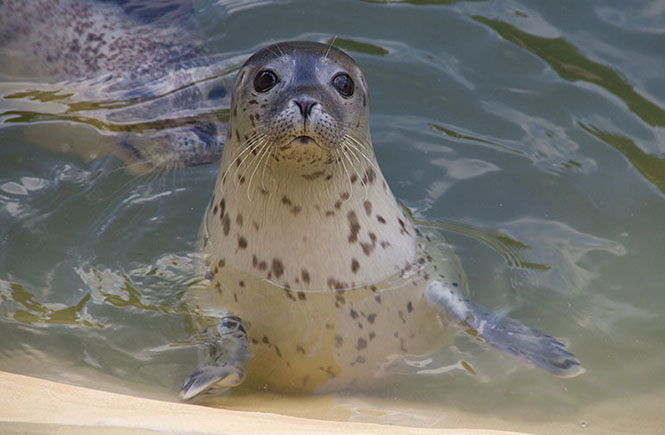 Adult seal at the Cornish Seal Sanctuary