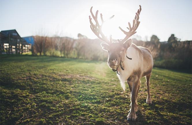 Reindeer at Gwel an Mor